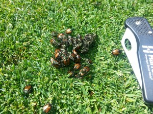 Pile of Japanese beetle adults on the turfgrass. Photo: Corey Randall, Lancaster Country Club