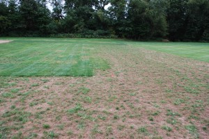 The destructive potential of gray leaf spot is evident in the untreated borders of Dr. Clarke's gray leaf spot fungicide trials in 2008. Photo: Richard Buckley, Rutgers PDL