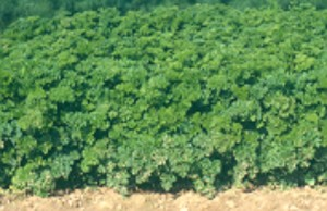 Harvest efficiency and yield of most crops, including parsley, is improved when the crop is weed free.