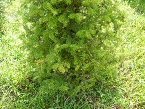 When monitoring for Cryptomeria scale, inspect the undersides of foliage at the lower, inner branches (Photo Credit: Steven K. Rettke of RCE)
