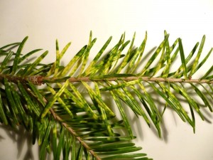 Chlorotic Banding & Mottling Symptoms Produced By Cryptomeria Scales on Fraser Fir (Photo: Steven K. Rettke)