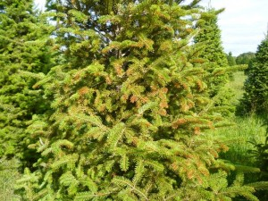 Horticultural oil spray phytotoxicity to a Fraser Fir (Photo Credit: Steven K. Rettke)