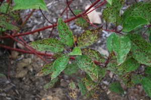 Septoria leaf spot on red twig dogwood. Photo: Richard Buckley, Rutgers PDL