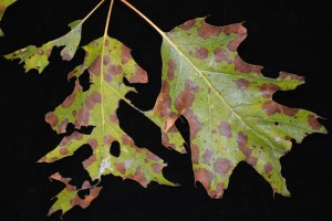 Tubakia leaf spot on oak. Photo: Sabrina Tirpak, Rutgers PDL