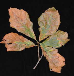 Bacterial leaf scorch in swamp white oak. Note the yellow margin between healthy and scorched tissues. Photo: Sabrina Tirpak, Rutgers PDL