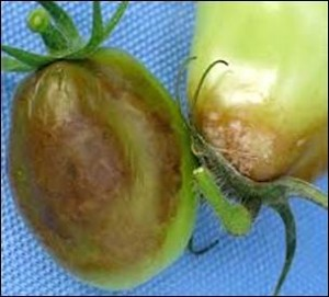 Late blight infection on plum tomatoes