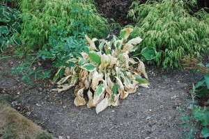 Hosta cooked during high heat stress. Photo: Richard Buckley, Rutgers PDL
