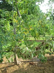 Apple tree decline due to GAB infestation