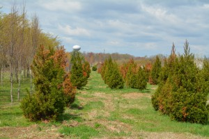 Delayed onset winter damage to cryptomeria. Photo: Richard Buckley, Rutgers PDL