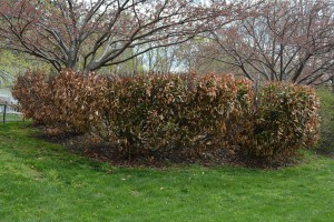 Cherry laurel with winter dessication. Photo: Richard Buckley, Rutgers PDL