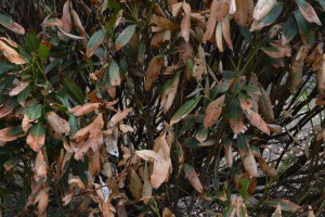 Closer view of winter damaged cherry laurel. Photo: Richard Buckley, Rutgers PDL