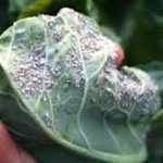 Cabbage aphids