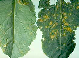Crucifer downy mildew