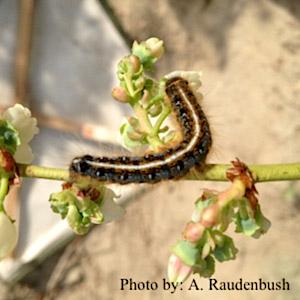Eastern-Tent-Caterpillar-051215