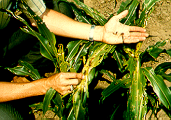 Fall Armyworm larval damage