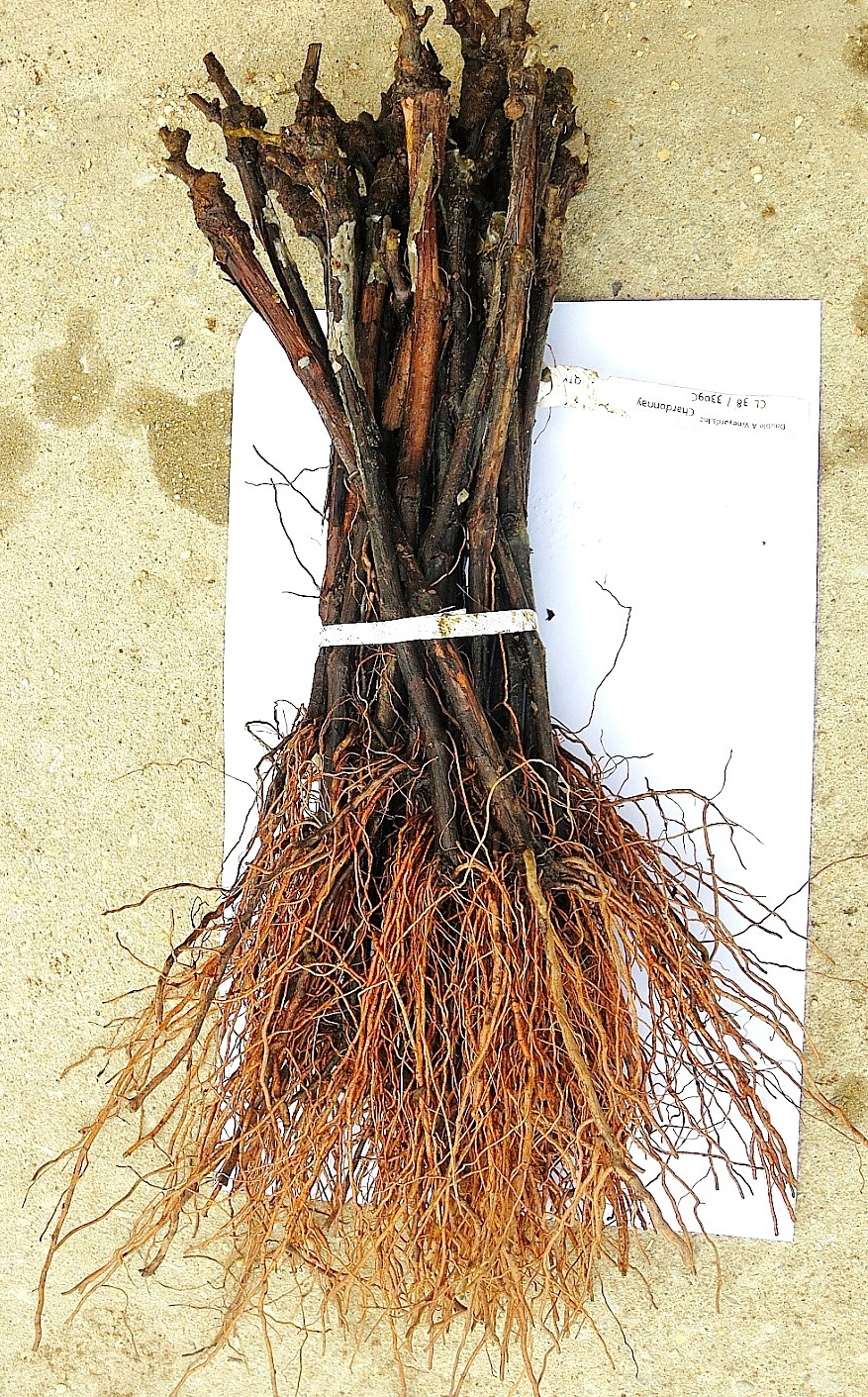 A Bundle Of Healthy Grafted Grape Vines These Are Moist