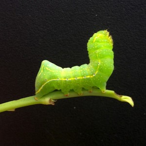 Humped Green Fruitworm larvae