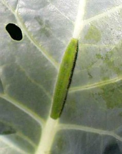 Imported Cabbageworm