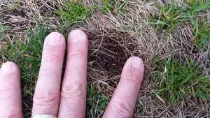 Leaf tips emerging from rhizomes of kyllinga on 15 April 2015 in central New Jersey.
