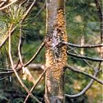 Pustules on White Pine