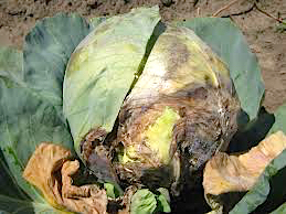 Sclerotinia - white mold - of cabbage