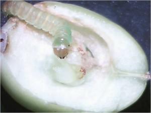 Sparganothis larva