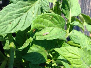 Syrphid fly maggot feeding on aphids in tomatoes.
