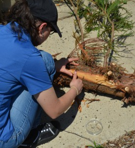 Sabrina Tirpak investigates a bleeding Cryptomeria stem. Photo: Richard Buckley, Rutgers PDL