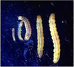 Sparganothis Larvae