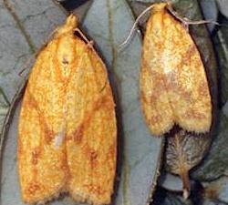 Sparganothis Adult