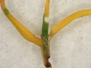 Annual bluegrass plant chewed by annual bluegrass weevils. Photo: Sabrina Tirpak, Rutgers PDL