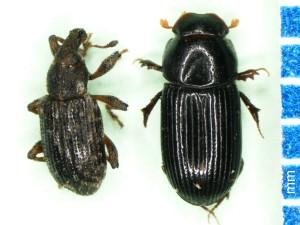 Annual bluegrass weevil vs. black turfgrass ataenius. Note the snout on the weevil and the clubbed antennae and spade-like tibias on the scarab. Photo: Sabrina Tirpak, Rutgers PDL
