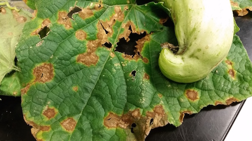Symptoms of anthracnose on infected cucumber leaf.