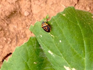 Beneficial Insect: Two-spotted Stinkbug