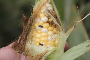 Corn Sap Beetles