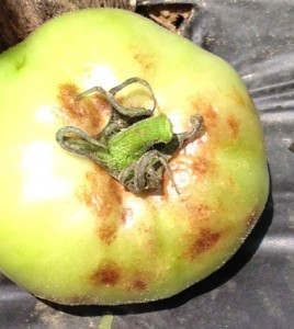 Late blight on green tomato fruit.