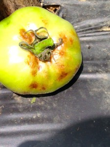 Late blight fruit lesion on tomato.