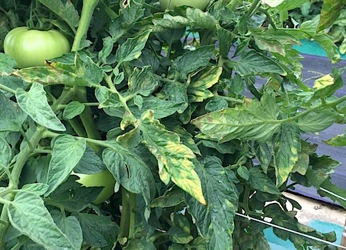 Symptoms of leaf mold on infected tomato plant. Note the bright yellow leaves and the olive-green spores developing on the undersides of leaves.
