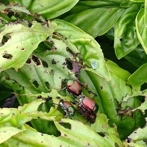 Japanese beetle Photo: Kris Holmstrom