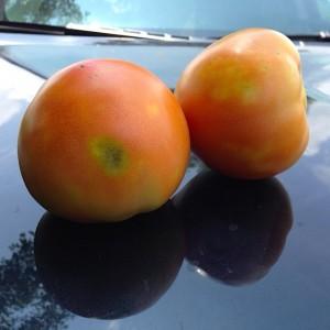 Stink bug injury in Tomato Photo: Kris Holmstrom