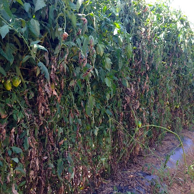 Early Blight in Indeterminate Tomato Photo: Kris Holmstrom