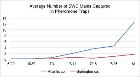 SWD Pheromone Traps