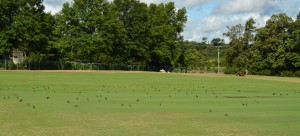 Flocks of birds on turfgrass are usually up to no good. Photo: Richard Buckley, Rutgers PDL