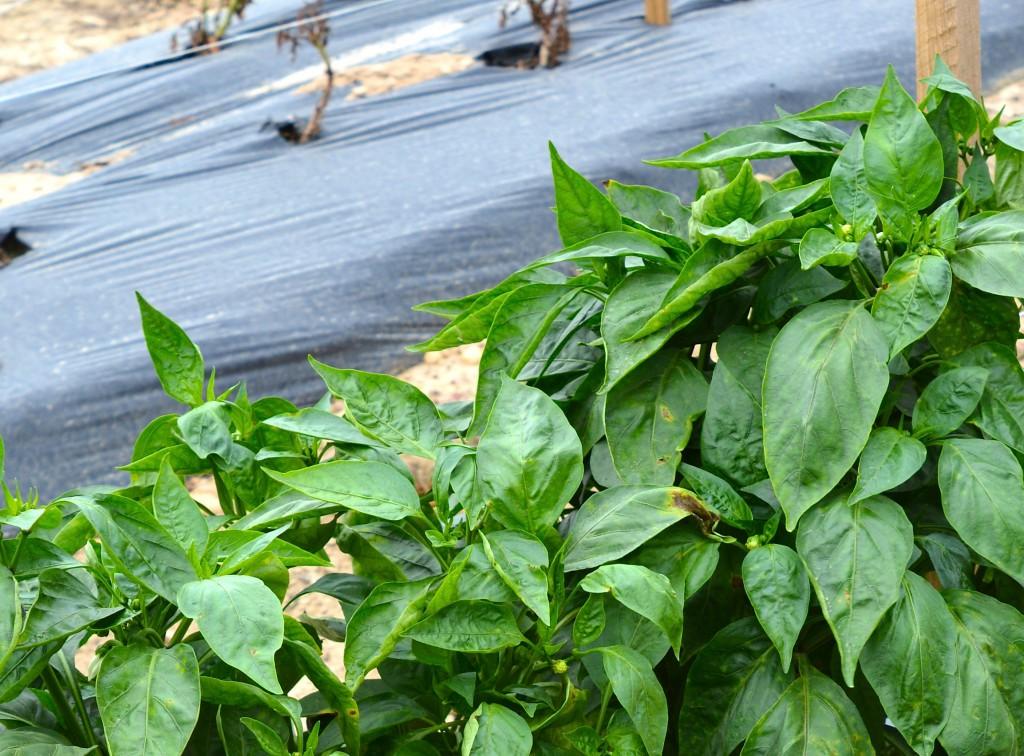 Seminis Bell Pepper 'Turnpike'