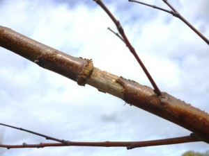 Closeup of dead branch that became completely girdled. Photo by SKRettke of RCE