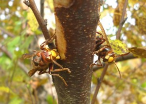 Powerful mandibles of hornet at left gouge into the bark & sap tissue. Hornet at right soon became agitated & attacked the camera. Brave photo by SKRettke of RCE