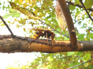 European Hornet actively foraging on bark & sap of Birch branch; SKRettke of RCE