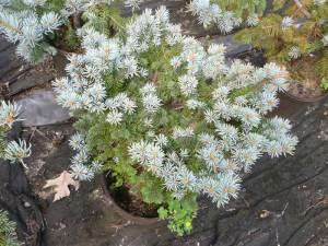 K & Blue Spruce2