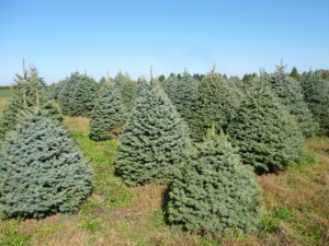 White & Colorado Spruce cultivars with excellent appearance growing in a Christmas tree farm at a elevated location. Photo by SK Rettke of RCE