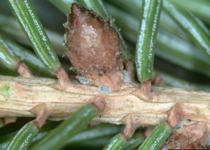 Eastern Spruce Gall Adelgid female stem mothers overwinter along lateral buds of newer branches. Photo credit: OMAFRA.gov.ontario